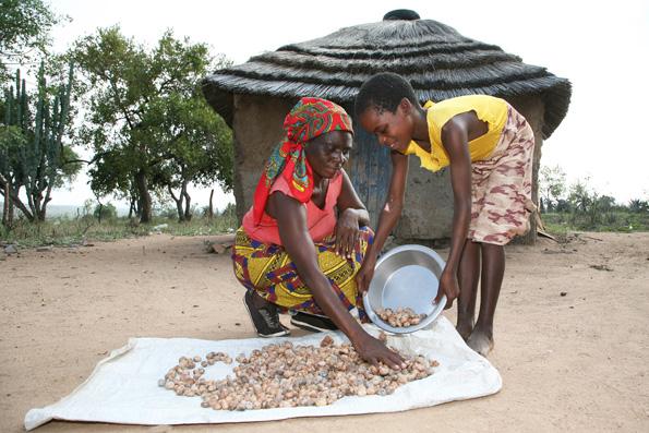 le noci di Marula vengono fatte essiccare al sole