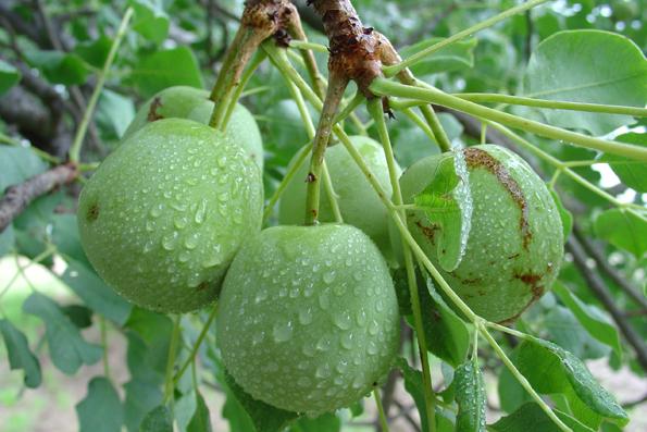 frutto dell'albero di Marula
