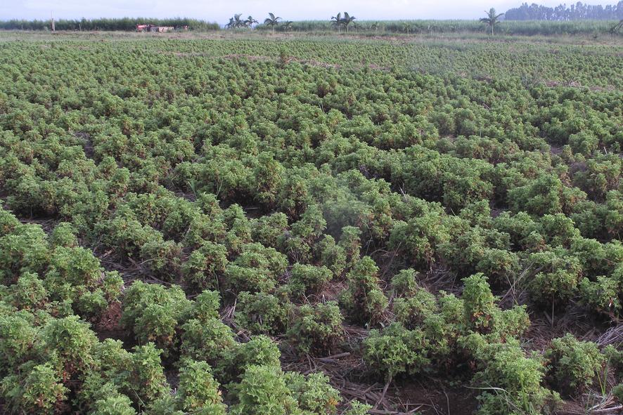 coltivazione Rosa Geranio