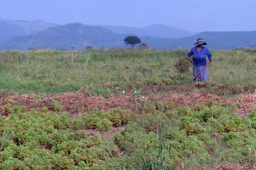 coltivazione Tea Tree